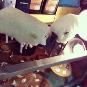 アメリカから来た羊